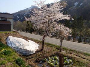 雪と桜とミズバショウ